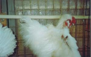 διακοσμητικά κοτόπουλα